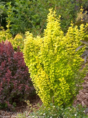 BERBERIS THU GOLD PILLAR