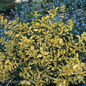 EUONYMUS FOR BLONDY