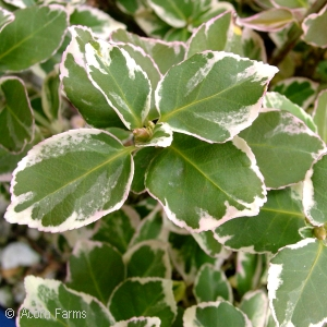 EUONYMUS FOR EMERALD GAIETY