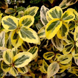 EUONYMUS FOR EMERALD N GOLD