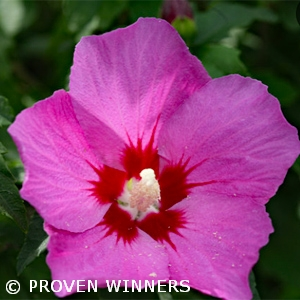 HIBISCUS SYR LIL KIM VIOLET