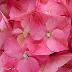 HYDRANGEA MAC FOREVER PINK