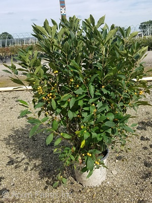 ILEX VER BERRY HEAVY GOLD