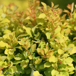 BERBERIS THU GOLDEN NUGGET