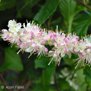 CLETHRA ALN RUBY SPICE