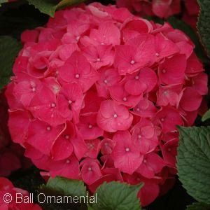 HYDRANGEA MAC RED SENSATION