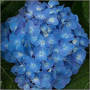 HYDRANGEA MAC BLUE JANGLES