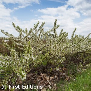 HYDRANGEA MAC LEMON DADDY