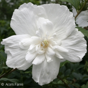 HIBISCUS SYR WHITE CHIFFON