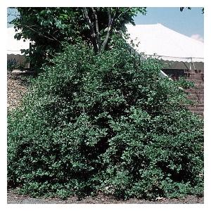 RIBES ALPINUM GREEN MOUND