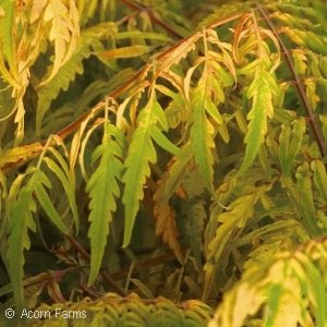 RHUS TYPHINA TIGER EYE