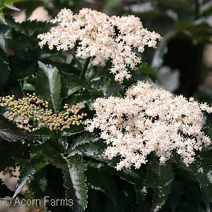 SAMBUCUS NIG BLACK TOWER