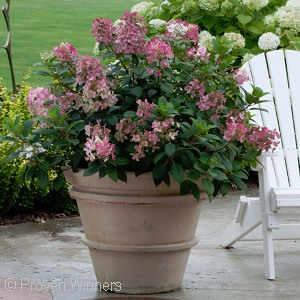 HYDRANGEA PAN LITTLE QUICKFIRE