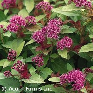 SPIRAEA X BUM MAGIC CARPET