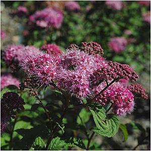 SPIRAEA BUM SUPERSTAR