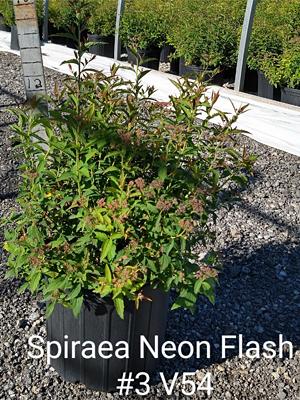SPIRAEA JAP NEON FLASH