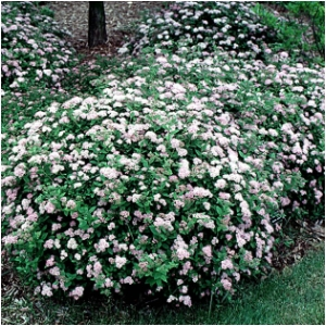 SPIRAEA JAP LITTLE PRINCESS