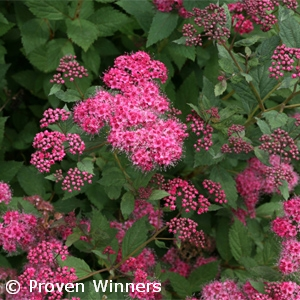 SPIRAEA JAP DOUBLE PLAY PINK