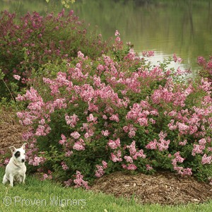 SYRINGA SCENT AND SENSIBILITY
