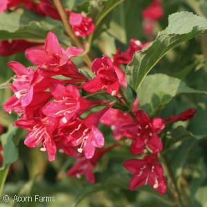 WEIGELA FLO RED PRINCE
