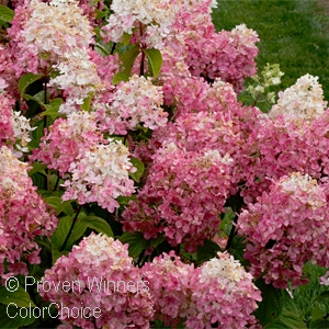 HYDRANGEA PAN FIRE LIGHT