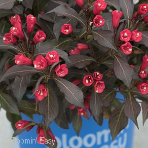 WEIGELA ELECTRIC LOVE