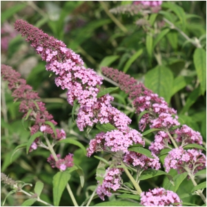 BUDDLEIA DAV PINK DELIGHT