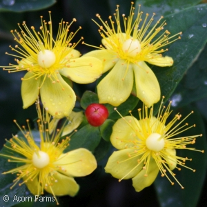 HYPERICUM AND SCARLET RED