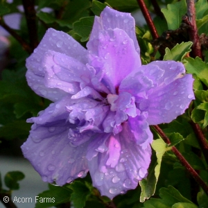 HIBISCUS SYR PURPLE