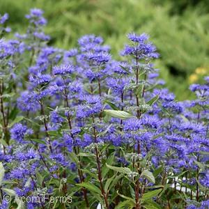 CARYOPTERIS CLA LONGWOOD BLUE