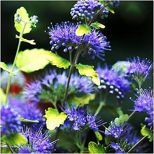 CARYOPTERIS CLA SUNSHINE BLUE