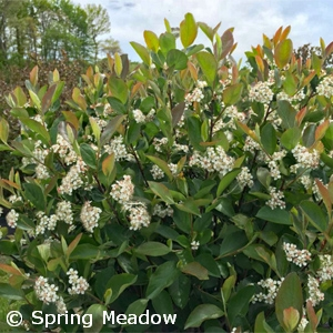 ARONIA MEL LOW SCAPE HEDGER