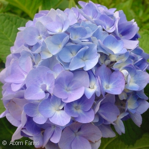 HYDRANGEA MAC ENDLESS SUMMER
