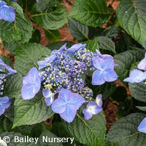 HYDRANGEA MAC BIG EASY