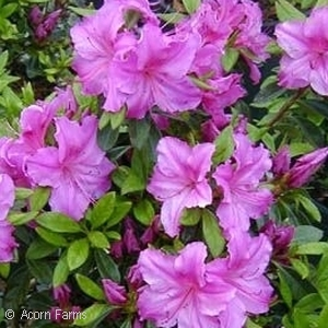 Azalea Girard Purple 3 4 Feet Tall Wide Flower Part Sun Shade Zone 6 Broadleaf Evergreen Shrubs