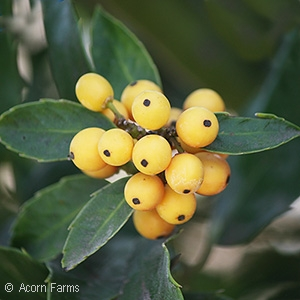 ILEX MES GOLDEN GIRL