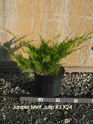 JUNIPERUS CHI MINT JULEP