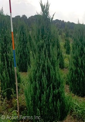 JUNIPERUS CHI BLUE POINT