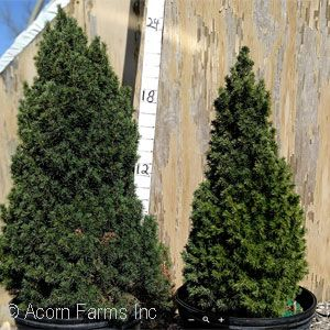 PICEA GLAUCA JEANS DILLY