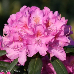 RHODODENDRON CAT ROSEUM PINK