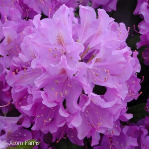 RHODODENDRON CAT ENG ROSEUM