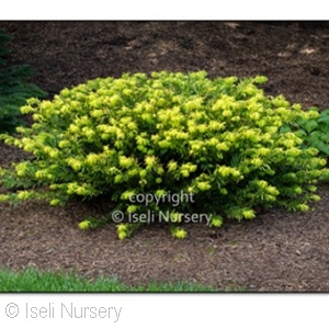 CEPHALOTAXUS HAR GOLD SPLASH