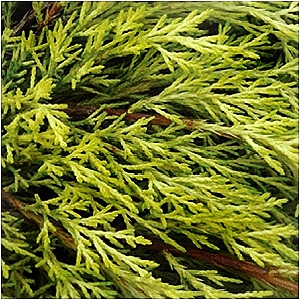 JUNIPERUS CHI PFI GOLD LACE
