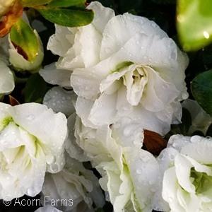 AZALEA WHITE ROSEBUD