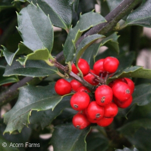 ILEX MES MAGIC BERRY