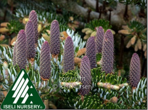 ABIES KOR SILVER SHOW