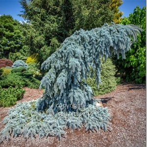 PICEA PUN THE BLUES
