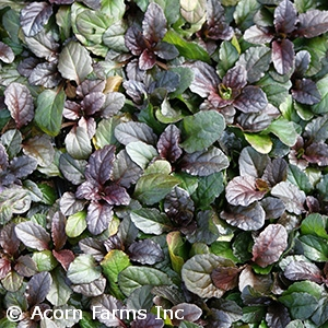 AJUGA REP BRONZE BEAUTY