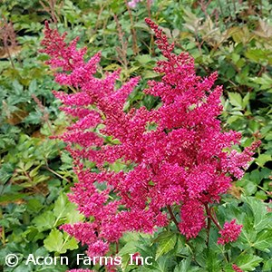 ASTILBE ARE HEAVY METAL