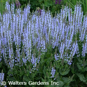 SALVIA NEM CRYSTAL BLUE